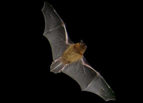 Pipistrellus pipistrellus in flight. Picture taken at dusk with a digital camera (Sony DSCP-90). Location: Brittany (France) CC BY-SA 3.0