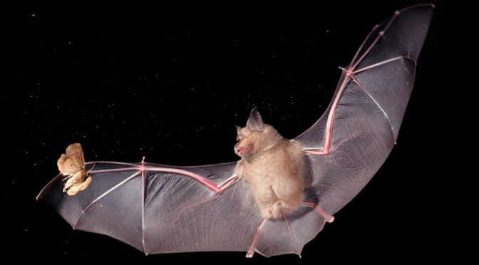 BAT WALK – Friday 7 September at 7.30pm