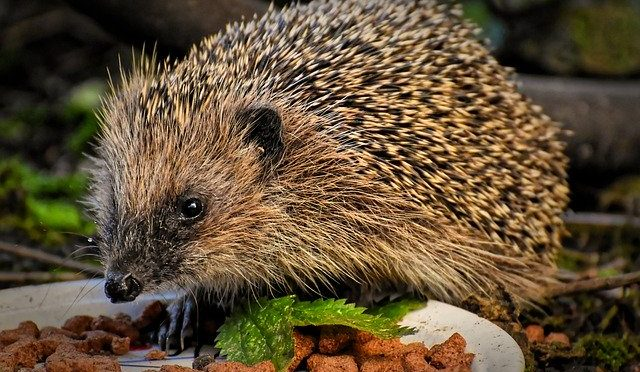 Hedgehog Diaries – Midsummer